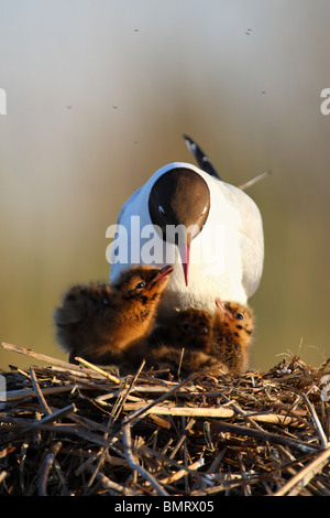 Adult Black-headed Gull (Larus ridibundus) looking at his young. Europe - Stock Photo