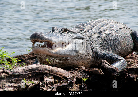 A wild adult American alligator on the surface of a swamp in the Atchafalaya National Wildlife Refuge, in southern - Stock Photo