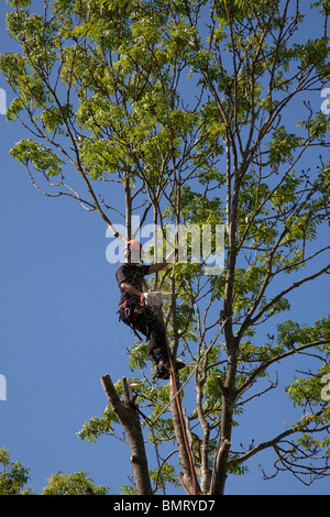 Tree surgeon working high in a tree with a chainsaw felling tree - Stock Photo