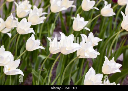'White Triumphator' Lily Flowered Tulip, Liljetulpan (Tulipa gesneriana) - Stock Photo