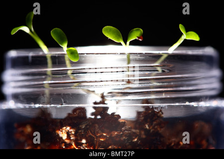 germ bud of clover, plants at a hotbed, agars, in a glass bowl, labor - Stock Photo
