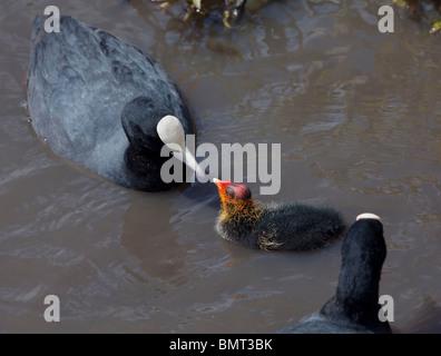Coot feeding Chick (fulica atra), UK - Stock Photo