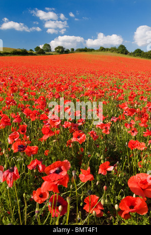 Spectacular display of Wild Poppies at a English Nature Reserve - Stock Photo