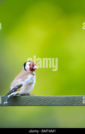 Goldfinch in a garden - Stock Photo