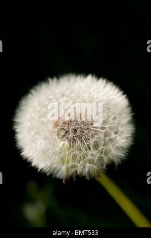 Dandelion seed head [dandelion clock] - Taraxacum - Stock Photo