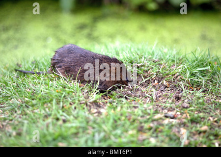 Water Vole Arvicola amphibius  digging in a moist grass bank at the water's edge taken under controlled conditions - Stock Photo