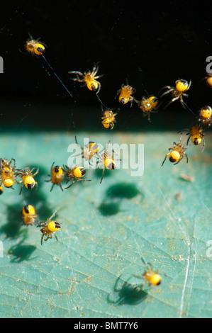Araneus diadematus. Young cross orbweaver spiders macro - Stock Photo