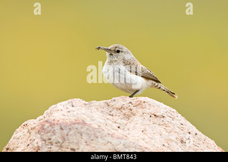 Rock Wren with Spider - Stock Photo