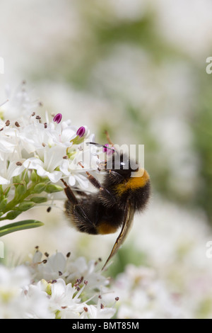Buff tailed Bumble Bee Bombus terrestris nectaring on a Hebe bush, Great Malvern, Worcestershire, UK. - Stock Photo