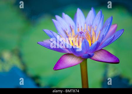 A Lotus Flower (Nelumbo Nucifera) - Stock Photo
