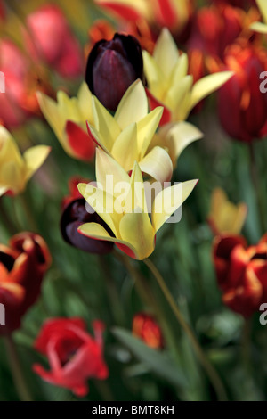 Mixed Tulips including 'Tulipa Queen of Night' - Stock Photo