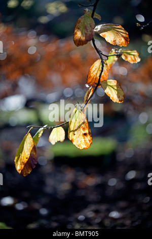 Autumn leaves glowing on the branch - Stock Photo