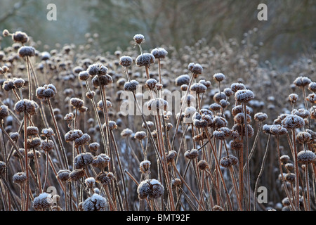 Seed heads of Monarda Garden view Scarlet, covered in frost - Stock Photo