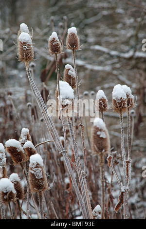 Snow and frost covered Teasles - Stock Photo