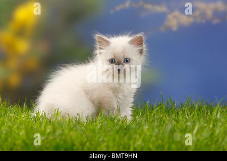Neva Masquarade, kitten, 7 weeks / Siberian Forest Cat, Siberian Cat, Siberia, Neva Masquerade - Stock Photo