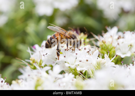 Honey Bee nectaring Apis mellifera on Hebe bush, Great Malvern, Worcestershire, UK. - Stock Photo