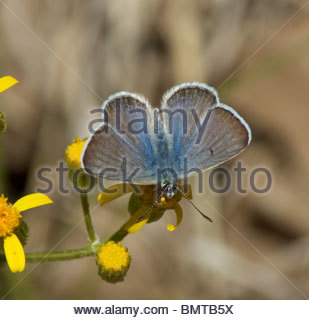 Arctic Blue Agriades glandon Arizona - Stock Photo