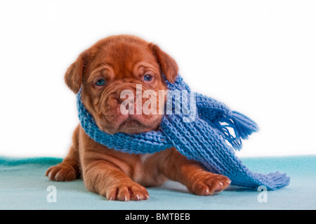 Newborn blue-eyed puppy with a blue shawl sitting - Stock Photo