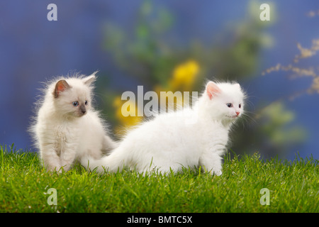 Neva Masquarade and Siberian Forest Cat, kittens, 7 weeks / Siberian Cat, Siberia, Neva Masquerade - Stock Photo