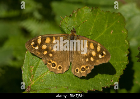 Speckled wood butterfly, Pararge aegeria, Britanny. France, Europe - Stock Photo