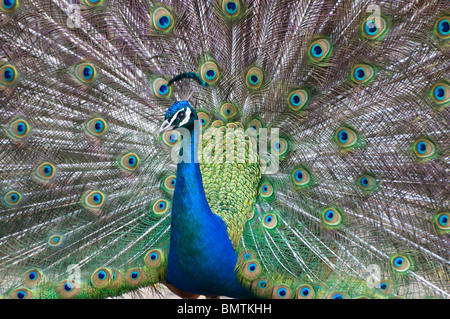 Peacock strutting it's stuff.looking with left eye at camera.Colourful beauty. - Stock Photo