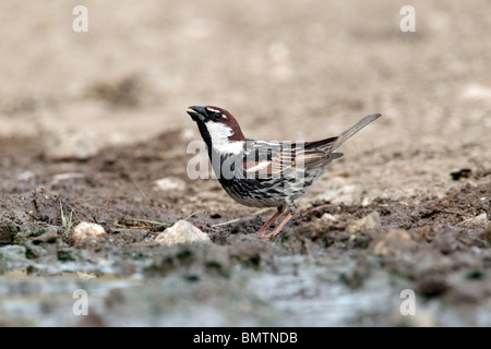 Spanish sparrow, Passer hispaniolensis, single male by water drinking, Bulgaria, May 2010 - Stock Photo