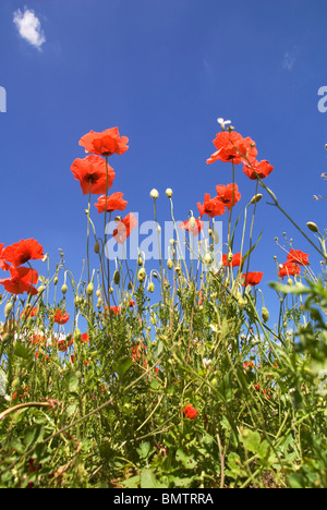 A carpet of Poppies on a Nature Reserve at Bewdley Worcestershire - Stock Photo