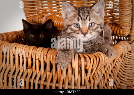 two curious black and gray kittens popping peeking out of a picnic basket - Stock Photo