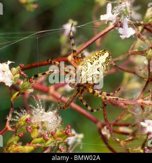 European Garden Spider, Cross Orbweaver, Cross Spider (Araneus diadematus) in its net. - Stock Photo