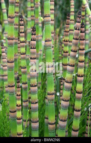 Rough Horsetail Equisetum hyemale Taken at Ness Botanical Gardens, Wirral, UK - Stock Photo