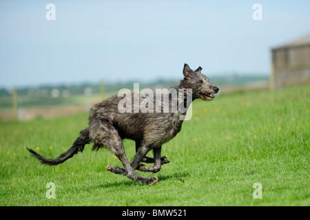 deerhound running - Stock Photo