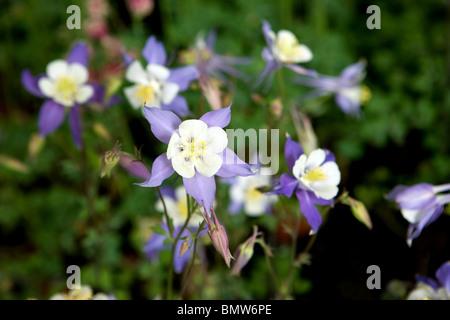 Aquilegia, flowers, hobbies, gardening, green, nature, - Stock Photo