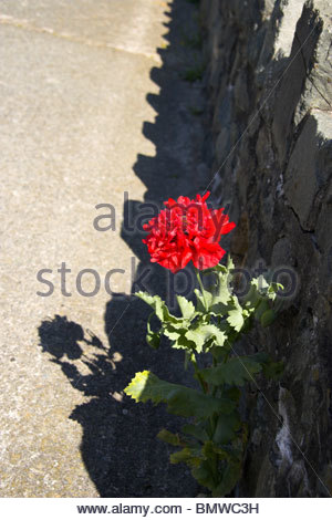 A red flower growing out of a stone wall/concrete promenade, Wales, UK. - Stock Photo
