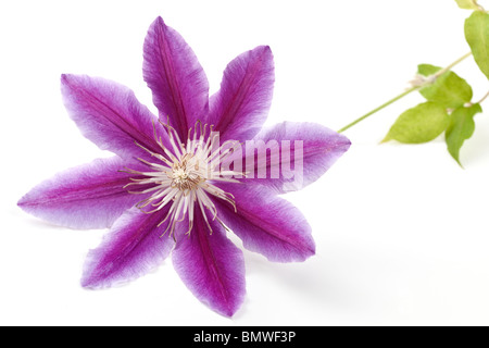 Clematis Nelly Moser mauve striped flower stalk and leaves - Stock Photo