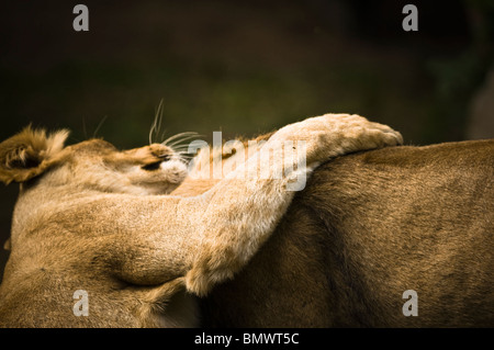 Asiatic Lions (Panthera leo persica) - two Asiatic lions, male and female, playing - July, Planckendael Zoo, Belgium, - Stock Photo