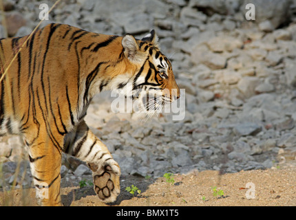 Tiger comes out in golden light in Ranthambhore National Park, India - Stock Photo