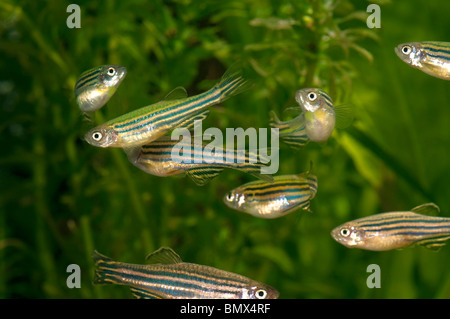 Zebra Danio, Zebrafish (Brachydanio rerio, Danio rerio), swarm in an aquarium. - Stock Photo