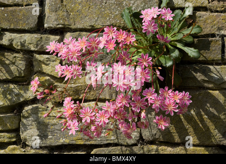 Lewisia cotyledon growing from a crevice in a wall in the sun - Stock Photo
