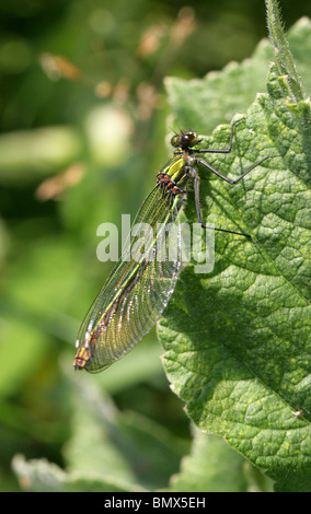 Female Banded Demoiselle Damselfly or Banded Agrion, Calopteryx splendens - Stock Photo