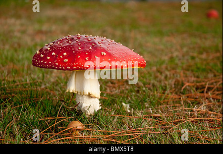 Fly agaric, Amanita muscaria, contains muscarine which is both poisonous and hallucinogenic. - Stock Photo