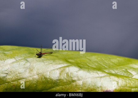 dragonfly resting on leaf - Stock Photo