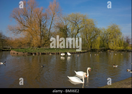 Slimbridge WWT in the spring wildfowl & willows leafing out - Stock Photo