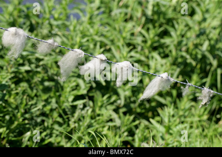 Sheep's Wool Caught on a Barbed Wire Fence - Stock Photo