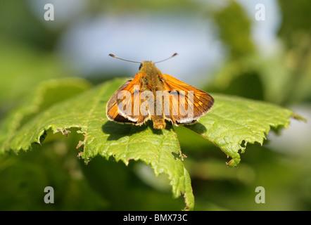 Large Skipper Butterfly, Ochlodes sylvanus (male), Hesperiidae, Lepidoptera - Stock Photo