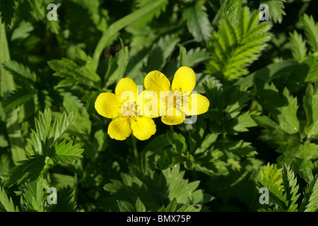 Goose Grass, Silverweed or Wild Tansy, Potentilla anserina, Rosaceae - Stock Photo