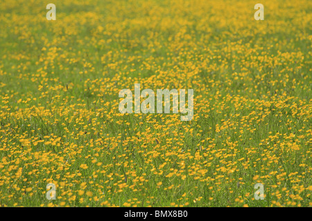 A field full of Meadow Buttercups (Latin: Ranunculus acris) in summer sunshine, County Limerick, Rep. of Ireland. - Stock Photo