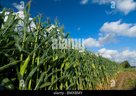 Field  of corn in southeastern Indiana - Stock Photo
