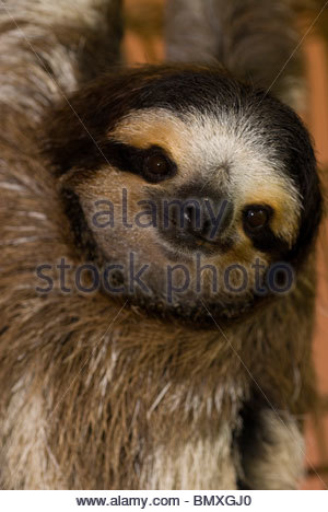Three-toed sloth portrait - Cahuita - Stock Photo