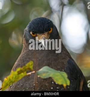 Crested Serpent Eagle close up shot. Picture taken in Bandhavgarh National Park, India - Stock Photo