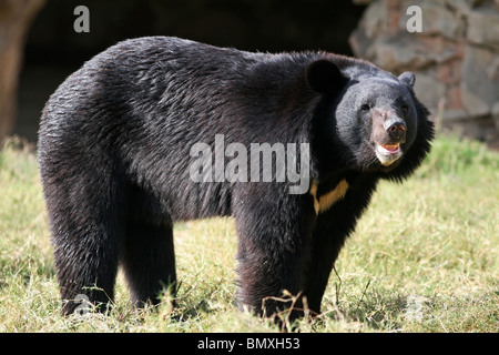 Asiatic Black Bear standing in its enclosure. Picture taken in New Delhi Zoo, India - Stock Photo